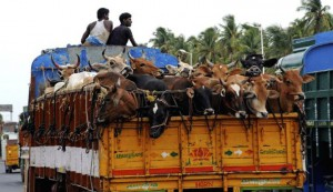 From January next year, motor vehicles carrying animals should have permanent partitions.
